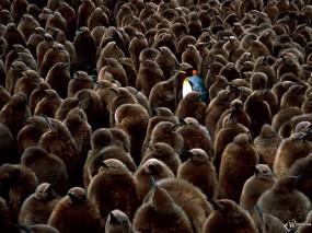 Обои Пингвин среди серых пингвинов: , Пингвины