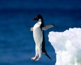 Обои Пингвин в прыжке: Императорский пингвин, Пингвины