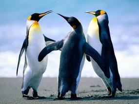Обои пигвины: Животные, Пингвины, Троица, Пингвины