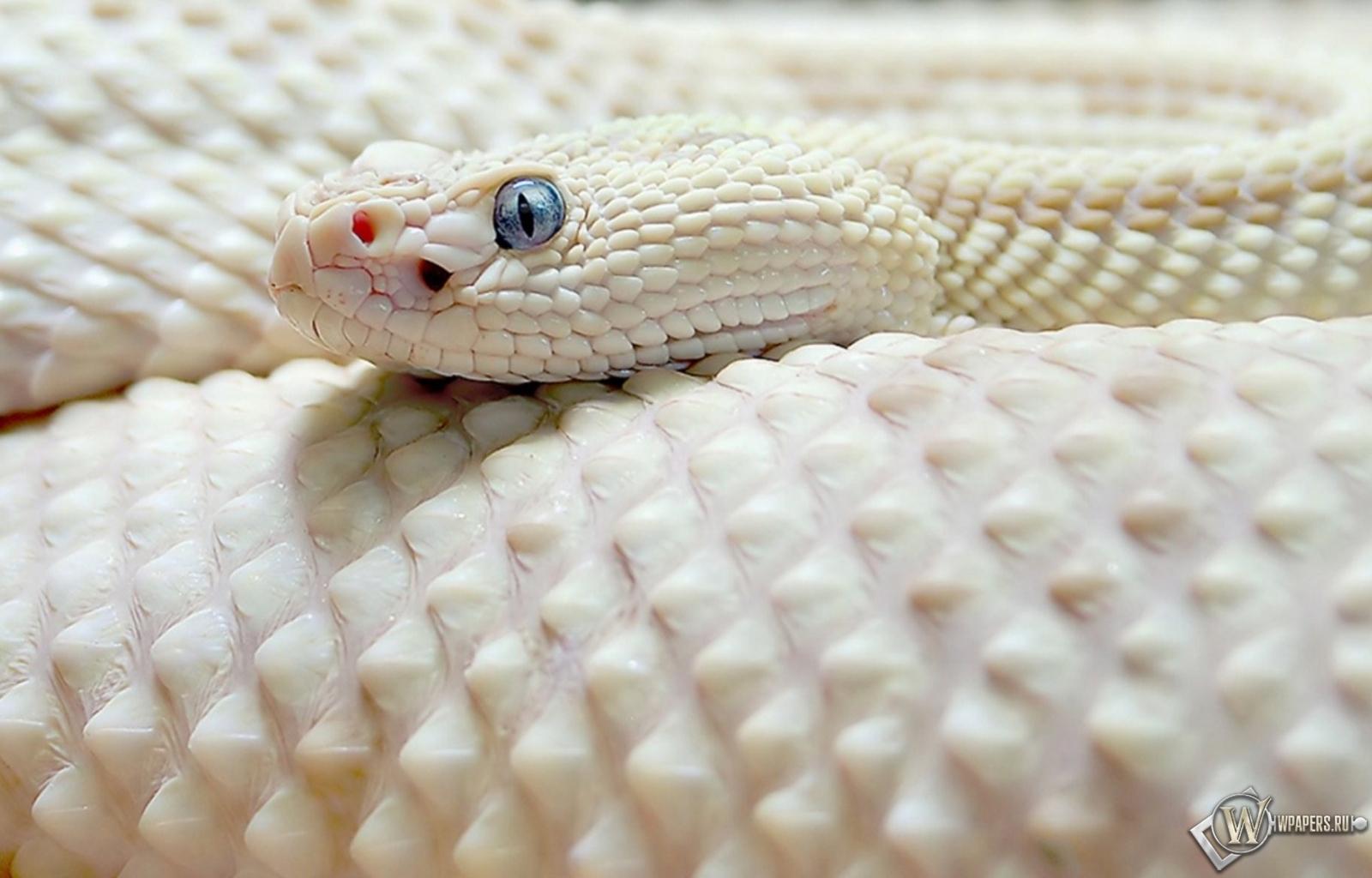 Обои белая чешуйчатая змея на рабочий