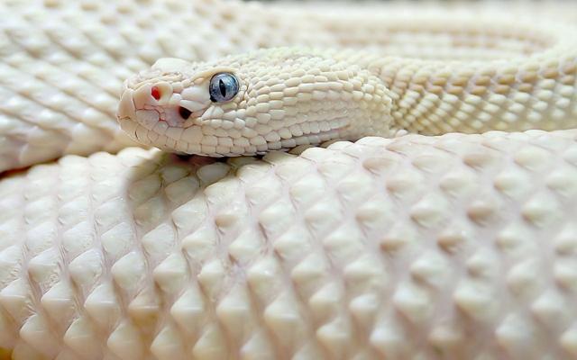 Белая чешуйчатая змея