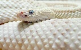 Обои Белая чешуйчатая змея: Змея, Чешуя, Змеи