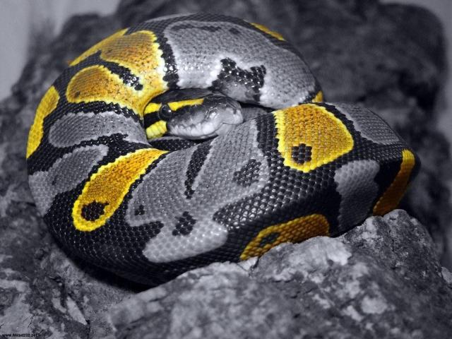 Серая Змея