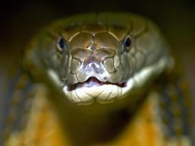 Обои Королевская кобра: Змея, Кобра, Королевская кобра, Змеи