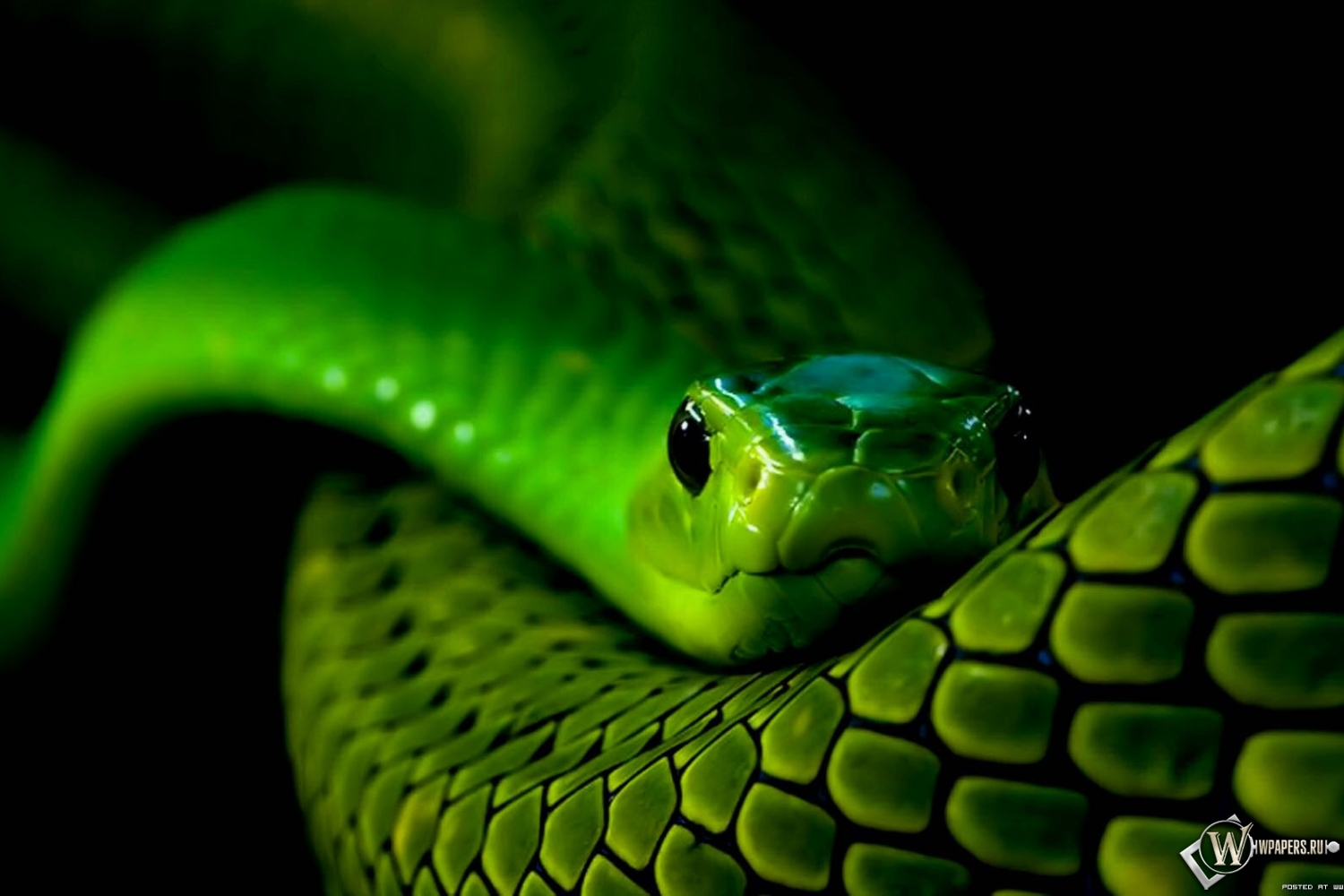 Natal green snake pictures