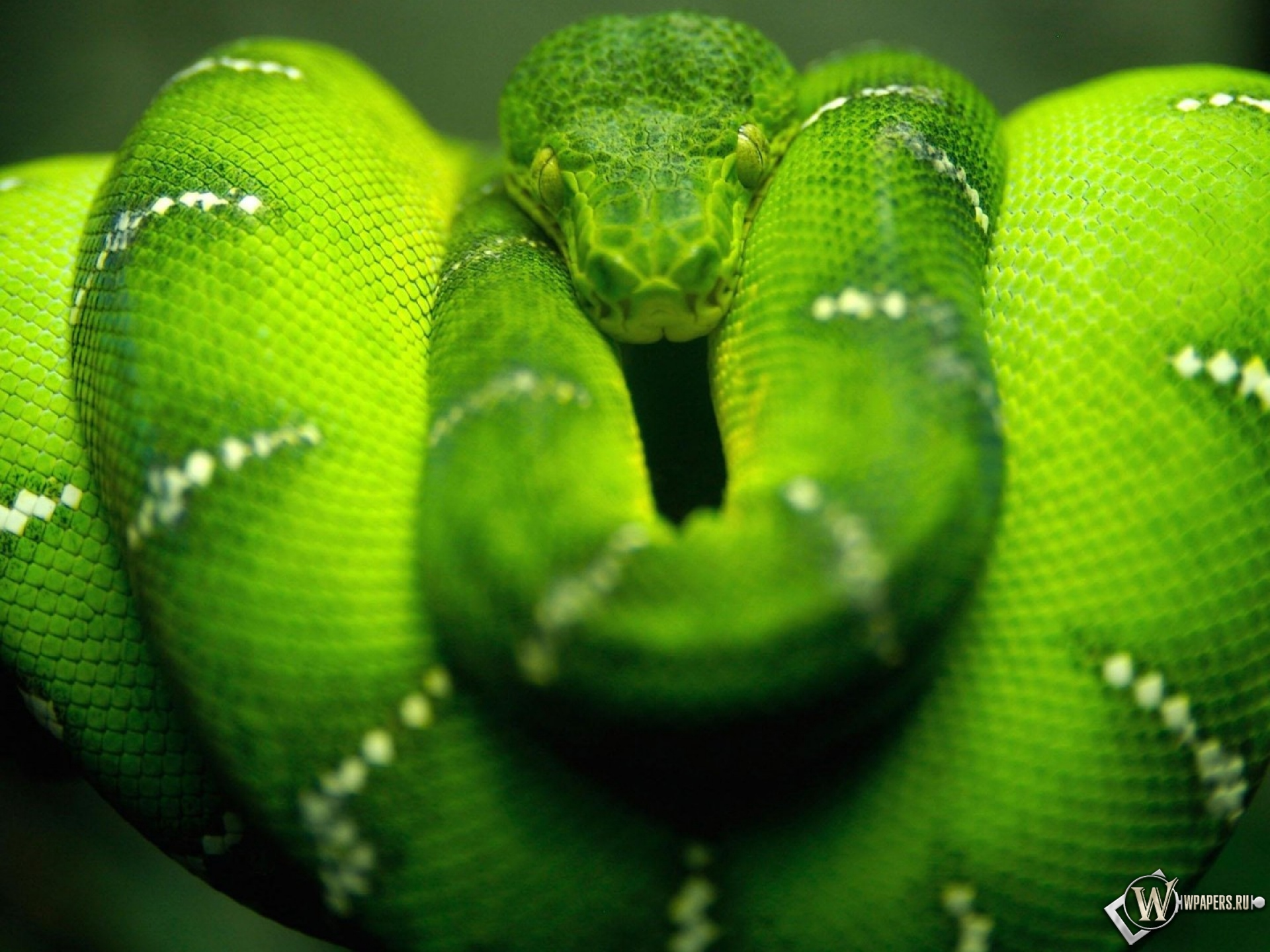 фото змея зеленая