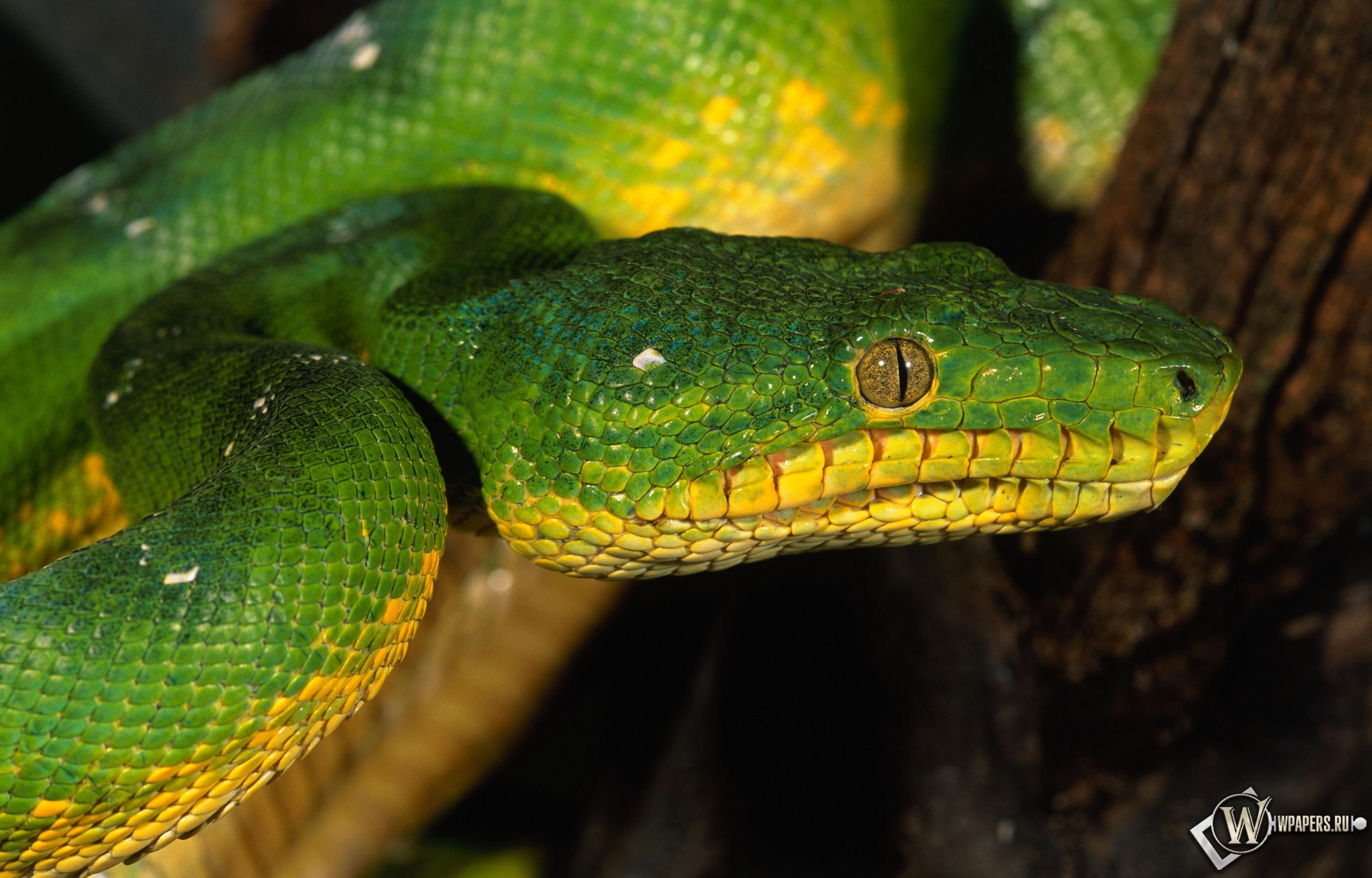 Зеленая змея 3200x2048
