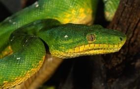 Обои Зеленая змея: Змея, Глаз, Зелёный, Змеи