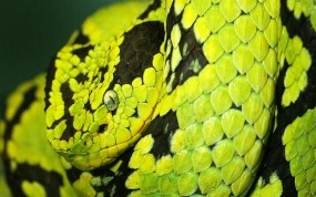 Обои Питон: Змея, Питон, Рептилия, Змеи