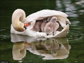 Обои Мать с детенышами: Лебеди, Мать, Детеныши, Лебеди