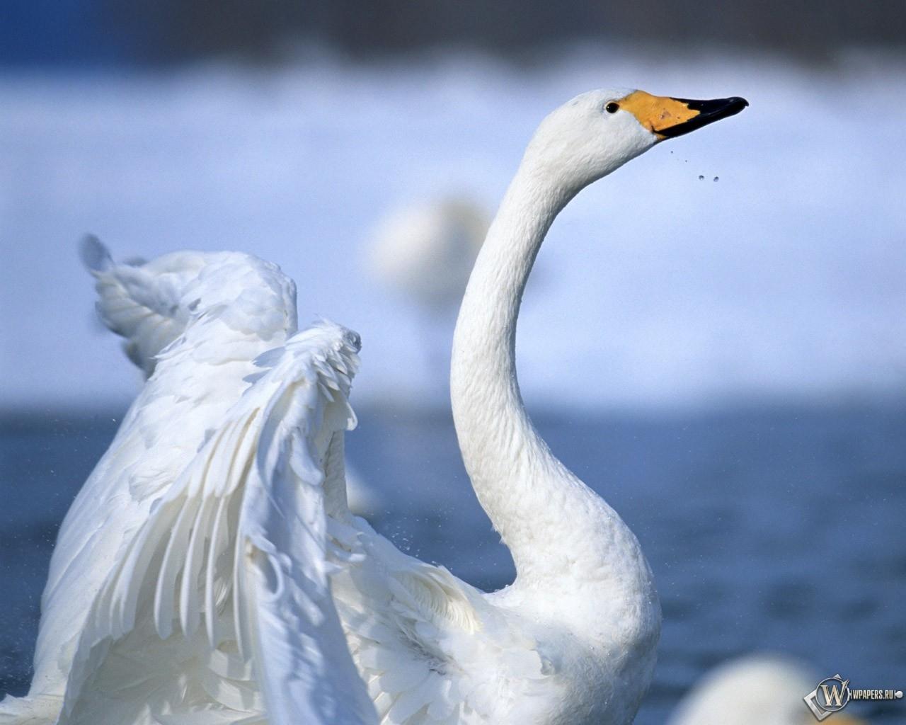 Лебедь 1280x1024