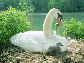 Обои Лебедиха с детенышами: , Лебеди