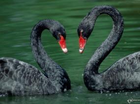 Обои Два черных лебедя: , Лебеди