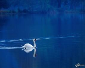 Обои Одинокий лебедь на воде: , Лебеди