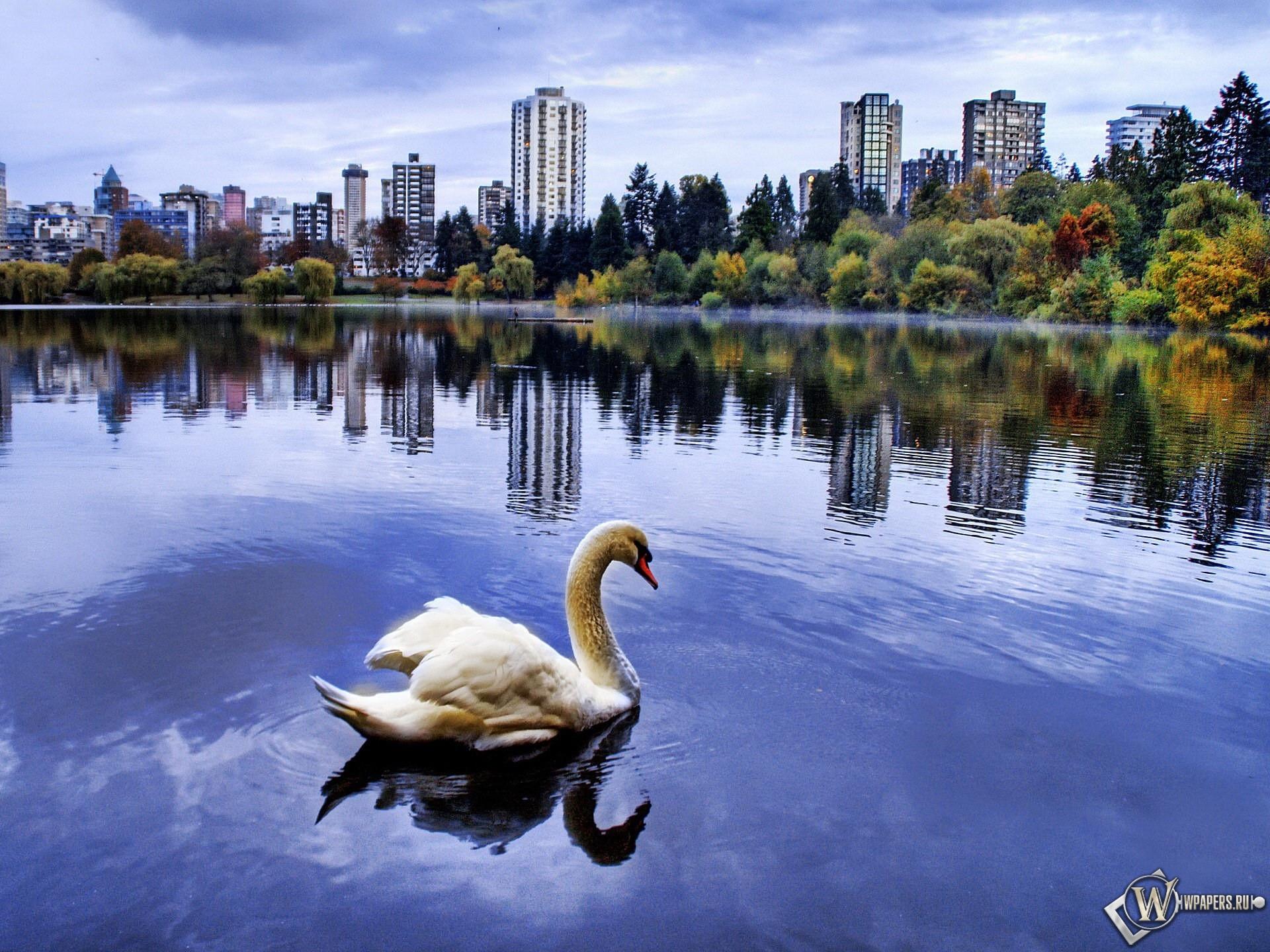 Лебедь в городском пруду 1920x1440