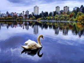 Обои Лебедь в городском пруду: Город, Пруд, Лебедь, Лебеди