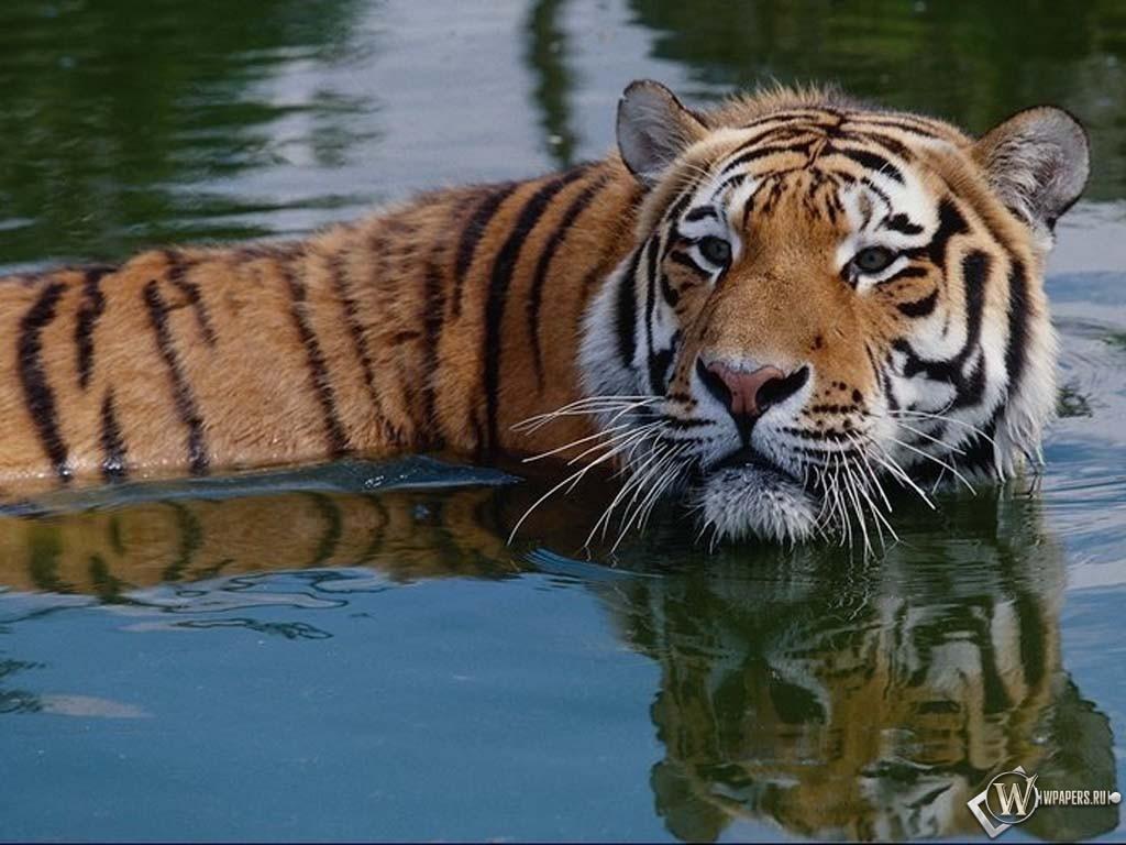 Тигр в воде 1024x768