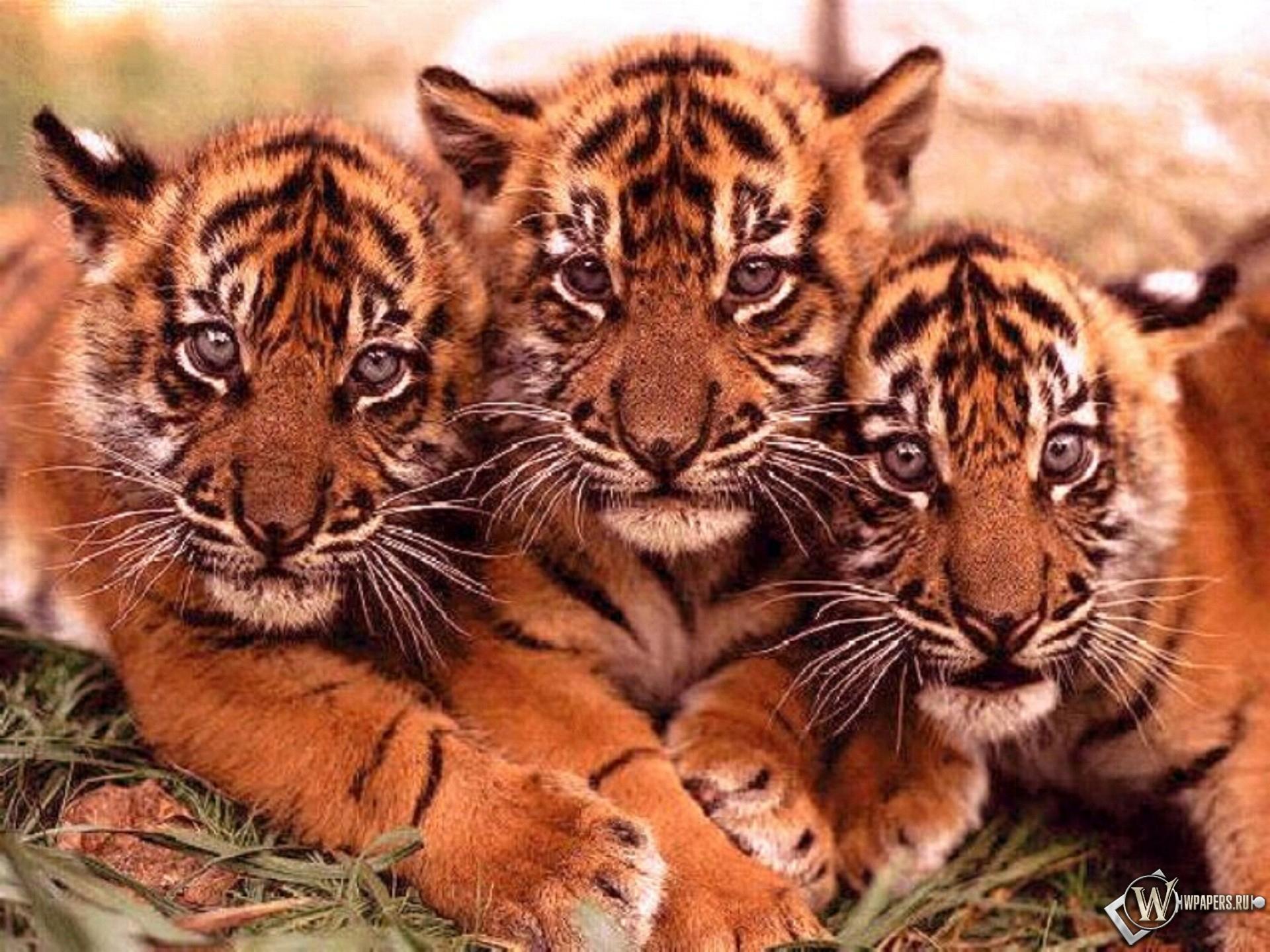Тигрята 1920x1440