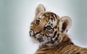 Обои Тигренок: Тигренок, Мордашка, Животное, Тигры