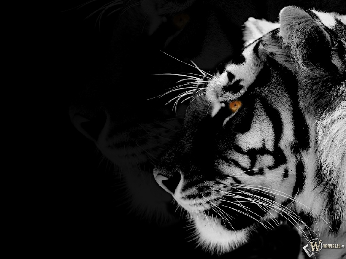 Black tiger pictures