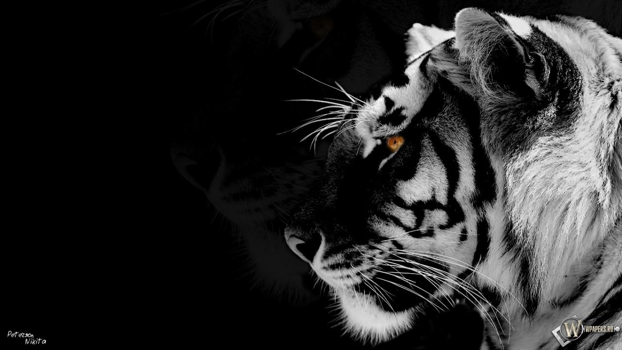 Обои белый тигр для рабочего стола