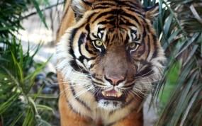 Обои Тигр: Тигр, Тигры