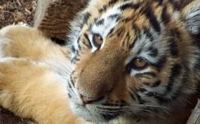 Обои Симпатичный тигр: Взгляд, Морда, Тигр, Тигры