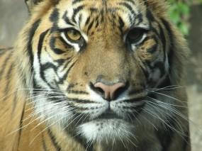 Обои Взгляд тигра: Взгляд, Морда, Тигр, Тигры