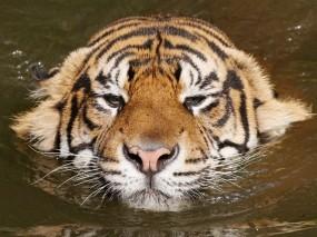 Обои Плывущий тигр: Вода, Тигр, Тигры
