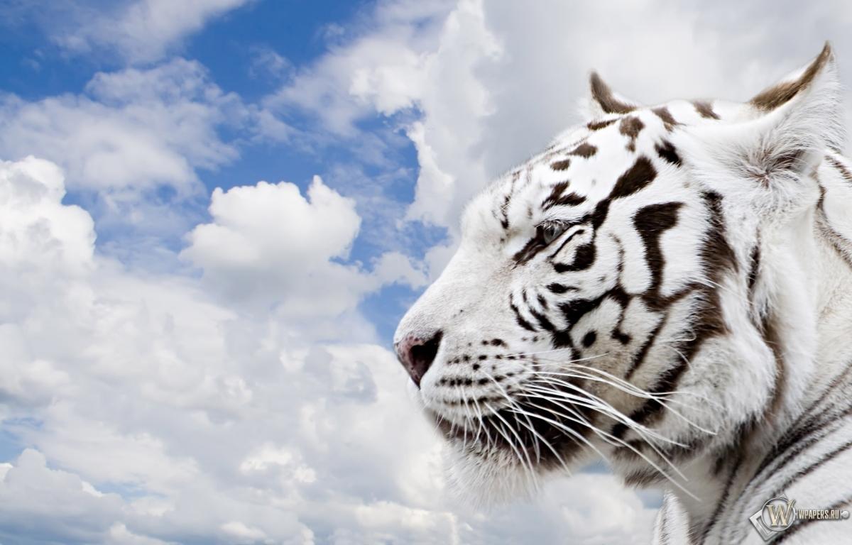 Тигр облака небо тигр 1200x768 картинки