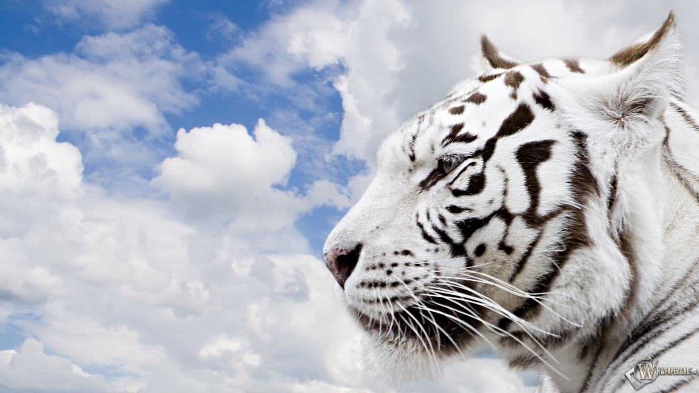Обои белый тигр облака небо тигр