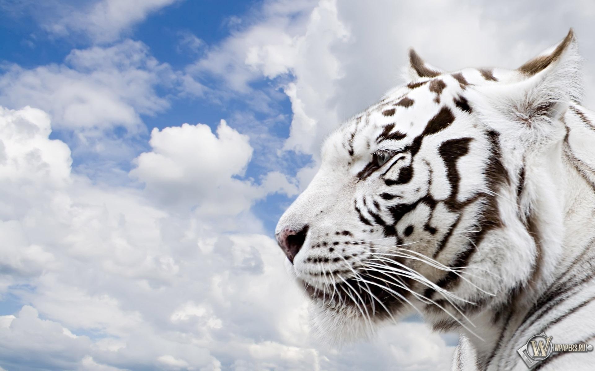Белый тигр 1920x1200