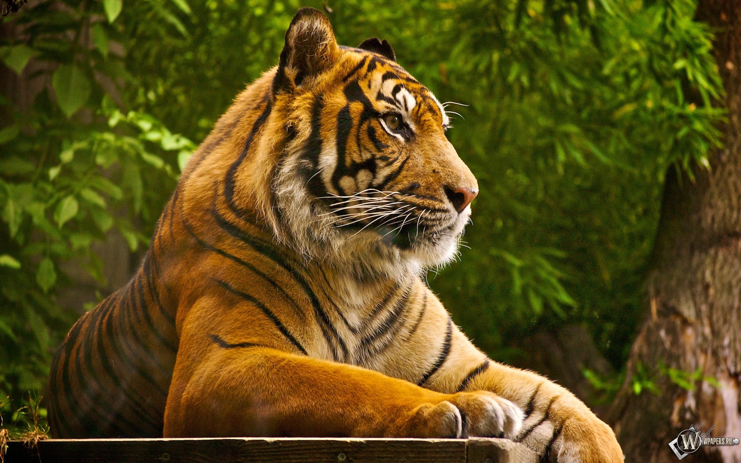 Тигр на отдыхе 2560x1600