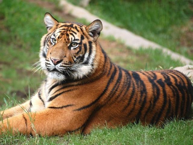 Тигр на лужайке
