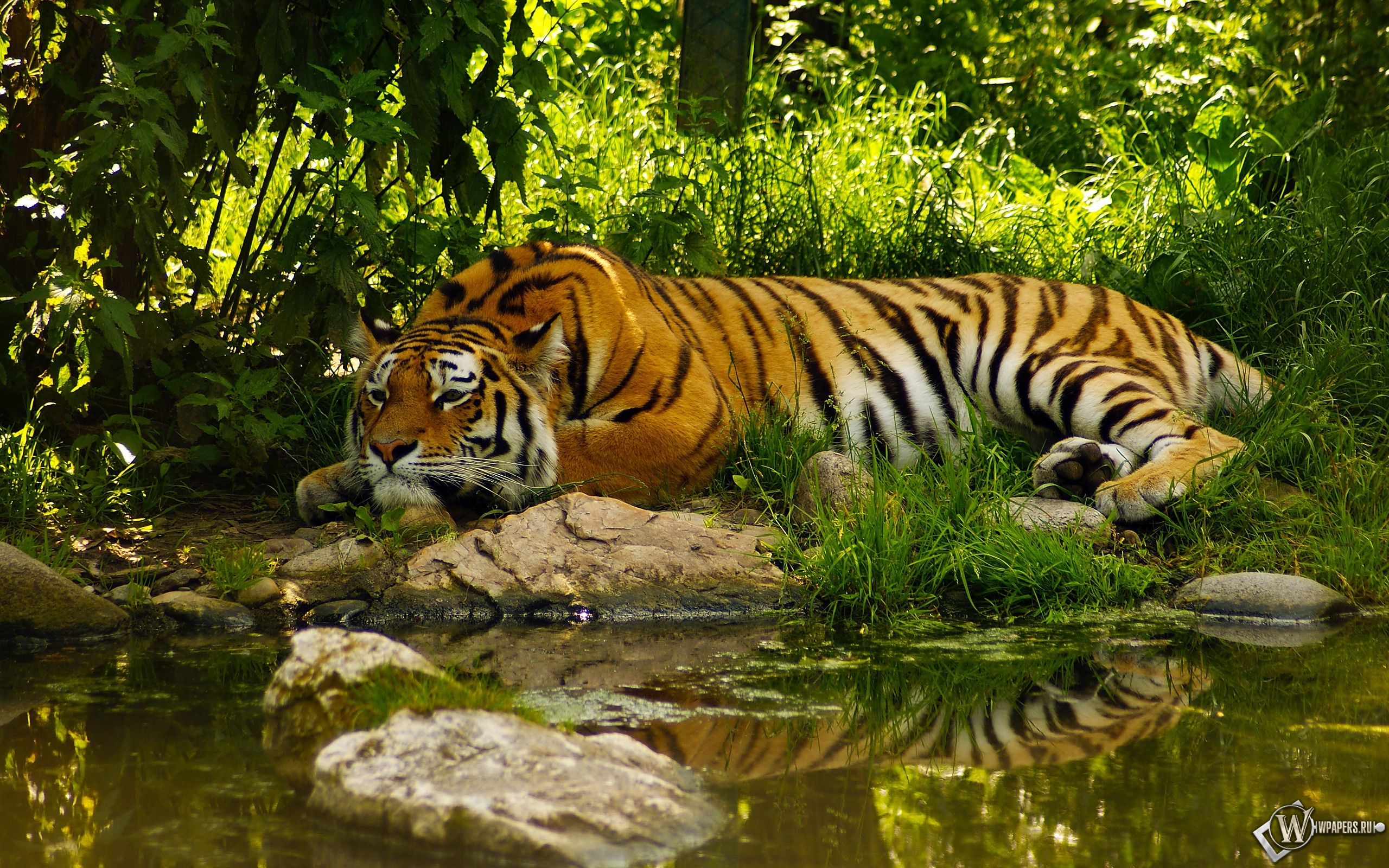 Отдыхающий тигр 2560x1600