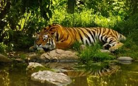 Обои Отдыхающий тигр: Вода, Пруд, Тигр, Тигры
