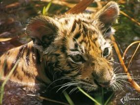 Обои Тигренок в воде: Тигренок, Тигры