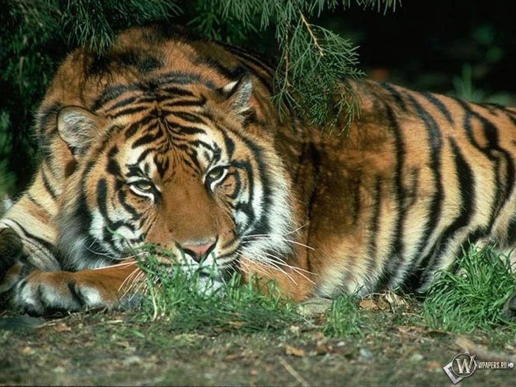 Спящий под сосной тигр 1024x768
