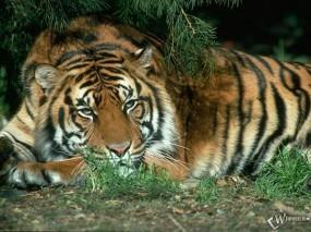 Обои Спящий под сосной тигр: , Тигры