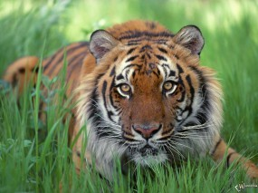 Обои Тигр в травке: , Тигры