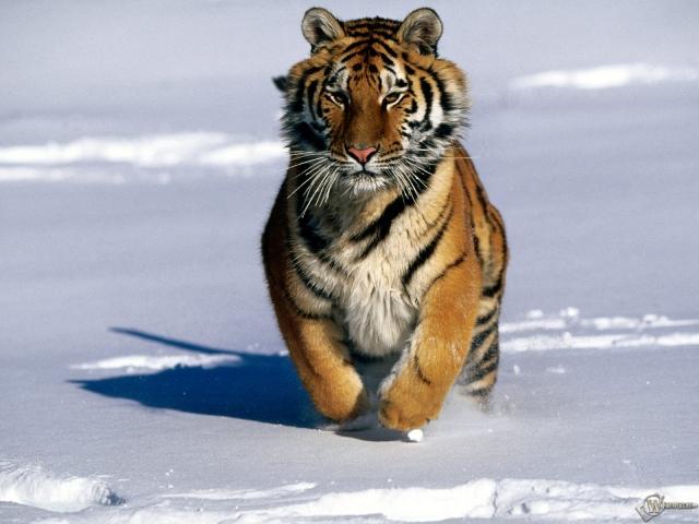 Тигр бегущий по снегу
