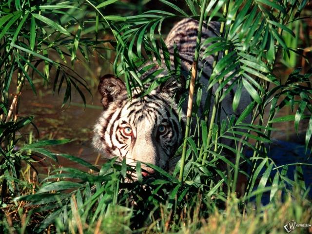 Белый тигр прячется за кустами