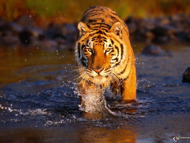 Тигр идущий по воде