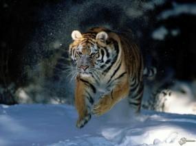 Обои Тигр бегущий по снегу: Снег, Тигр, Прыжок, Тигры