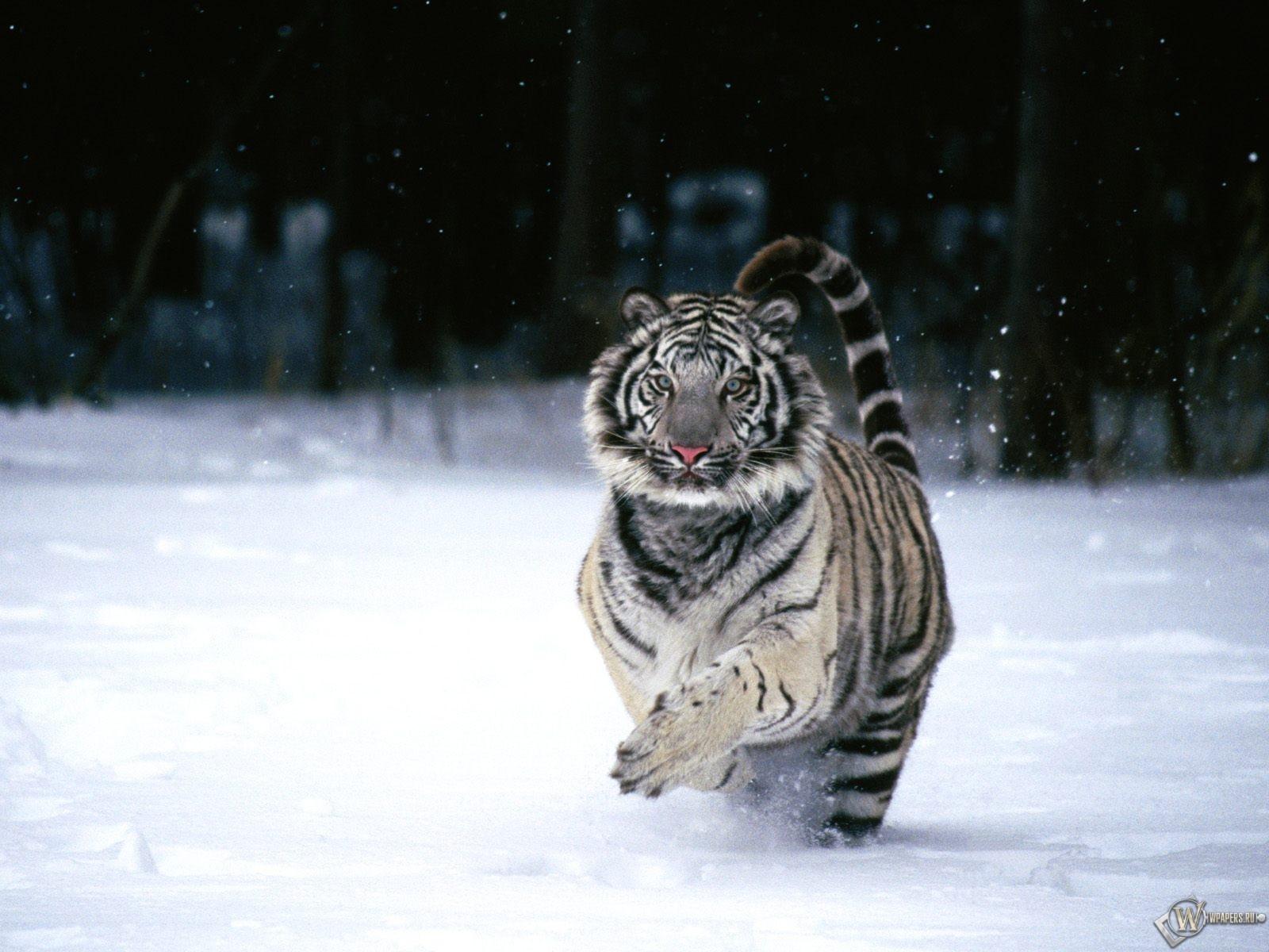 Белый тигр бегущий по снегу 1600x1200