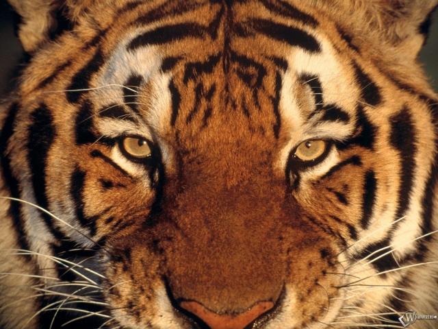 Обои морда тигра морда тигр 640x480
