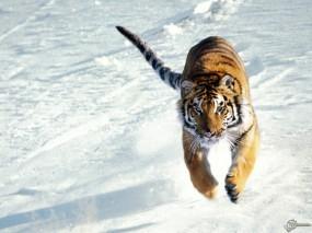 Обои Тигр бегущий по снегу: , Тигры