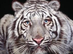 Морда белого тигра