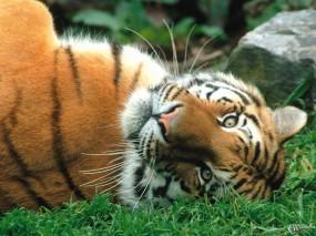 Обои Тигр валяющийся на спине: , Тигры