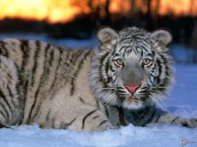 Обои Белый тигр на снегу: Снег, Белый тигр, Тигры